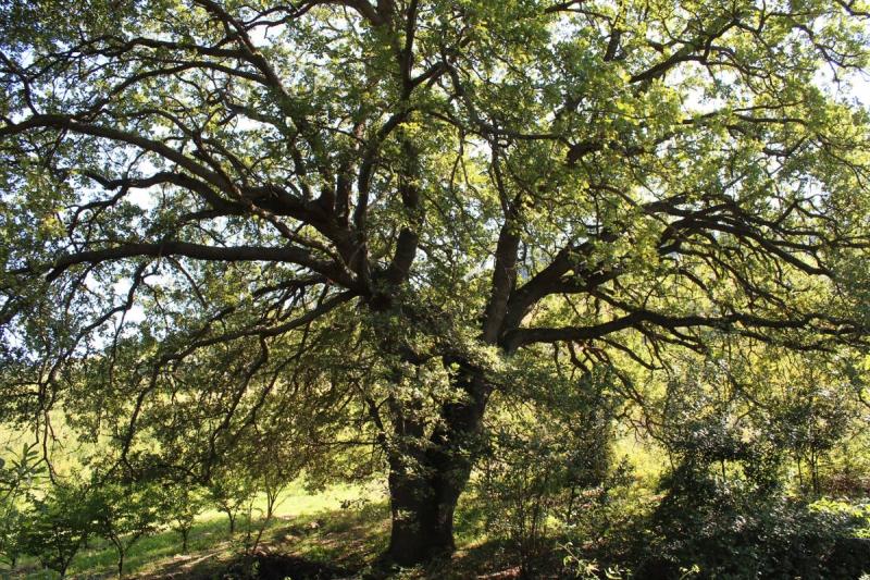 altidona quercia monumentale vista
